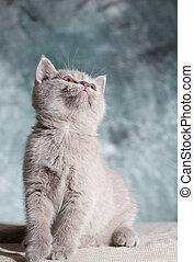 Scottish straight cat. Baby animal portrait