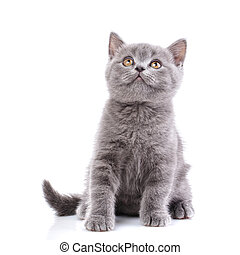 Scottish straight kitten. Isolated on a white background. Gray cat sits sideways