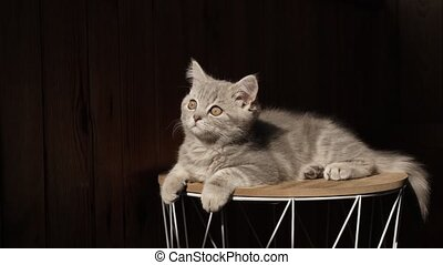 Kitten breed Scottish Straight, aged 3 months, lies on a black isolated background in the sunlight. A small pet basks in the sun