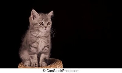 Two-month-old Scottish Straight kitten on a black isolated background. The cat sits on a straw hat and watches with interest. Shooting from a tripod in 4K close up