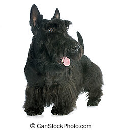 Scottish Terrier in front of white background