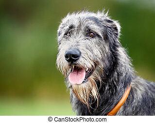 Scottish wolfhound - Portrait of purebred scottish wolfhound...