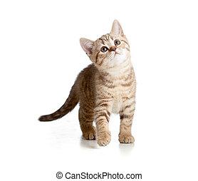 scozzese, o, britannico, gattino