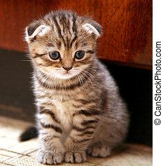 scozzese, piega, gattino, divertente