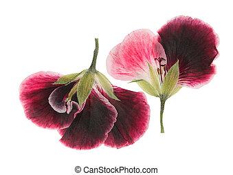 scrapbooking, floristry, fondo., delicado, geranio, o, secado, aislado, blanco, (pelargonium), rosa, uso, flores, apretado, transparente, herbarium.