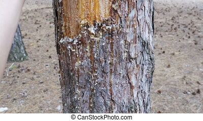 Scraped bark on the trunk of a pine tree and wood tar.
