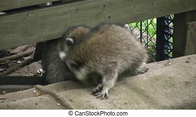 Scrapping Raccoons - A couple of young raccoons get into a...