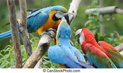 Scrappy Parrots. - Four macaws having a dispute. Toronto...