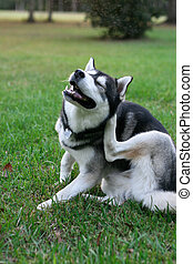 Scratching Fleas - purebred Siberian Husky dog scratching...