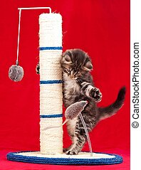 Scratching post - Curious kitten on the scratching post over...