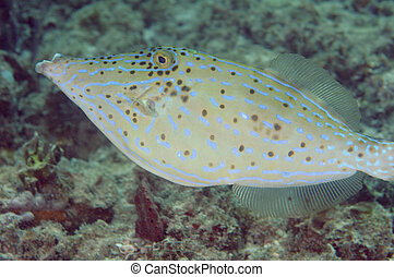 Scrawled Filefish swimming over a coral reef.