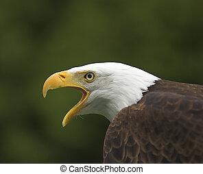Screaming Bald Eagle Profile