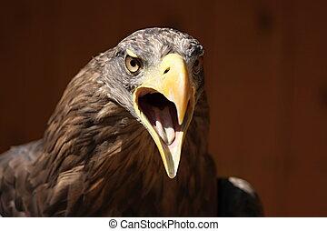 Screaming eagle, Sea eagle (Haliaeetus albicilla)