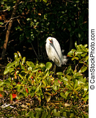 Screaming Snowy Egret