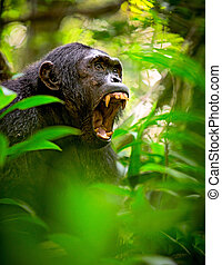 Screaming wild chimpanzee or chimp - Chimpanzee screaming in...
