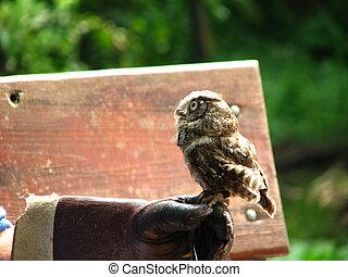 Screech Owl - A screech owl at a Florida park