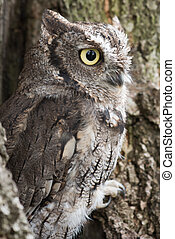 Screech owl - A side view of a southern screech owl perched...