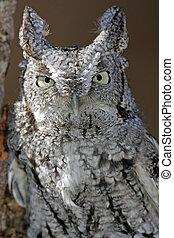 Screech Owl Closeup (white and black) - Closeup of a White...