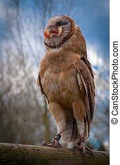 Screech owl eating a chick