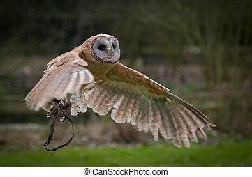 Screech owl flying