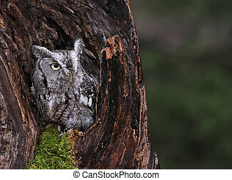 Screech Owl in Stump - A close-up of an Eastern Screech Owl...