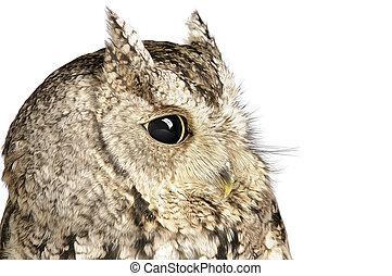 Screech Owl on white background.