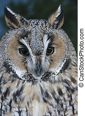 Screech Owl - Portrait of variegated plumage owl with a...