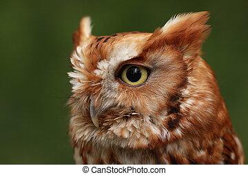 Screech owl - screech owl against green background