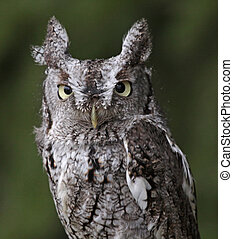Screech Owl Stare (Megascops asio) - A close-up of an...