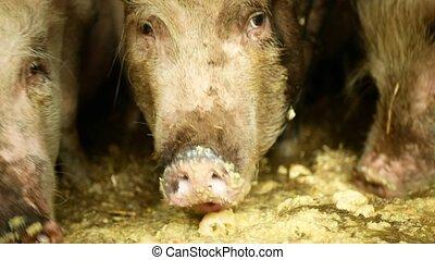scrofa, nourriture, conjugal, alimentation, bio, manger, noir, rose, truie, agriculture, cochons, porcs, cote, verrat, cochon, bétail, ferme, porc, sus, porc, profil, porcelets, manger, paille, organique, domesticus, élevage