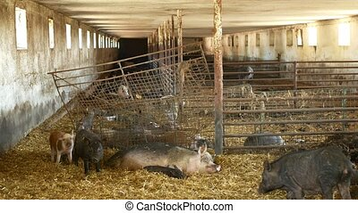 scrofa, porc, conjugal, bio, rose, truie, campagne, agriculture, porcs, noir, cote, verrat, village, cochon, bétail, ferme, porc, sus, viande, profil, porcelets, paille, organique, domesticus, élevage