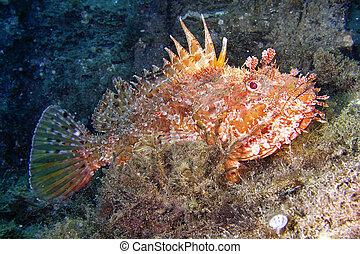 scrofa, scorpionfish, rojo, scorpaena
