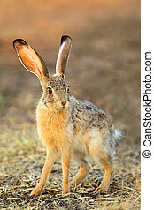 Scrub hare (Lepus saxatilis) in natural habitat, South...