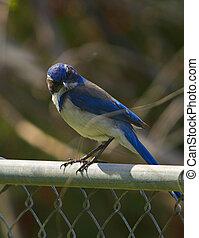 Scrub Jay on a fence