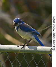 Scrub Jay on a fence