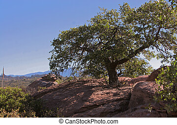 Scrub oak - Oak growing from rock