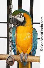 Scruffy Macaw - A slightly scruffy, blue & yellow macaw in ...