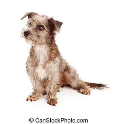 Scruffy Terrier Puppy Looking to Side