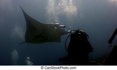 Scuba diver and giant Manta ray ramp fish swimming deep...
