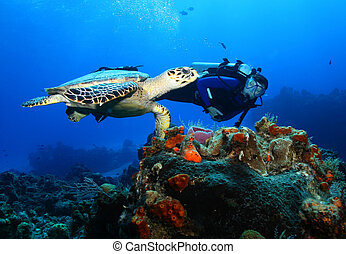 Scuba Diver Swimming Next to a Hawksbill Turtle (Eretmochelys imbricata) over a coral reef - Cozumel, Mexico