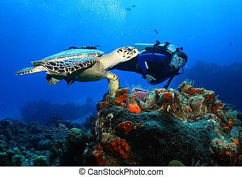 Scuba Diver and Hawksbill Turtle - Scuba Diver Swimming Next...