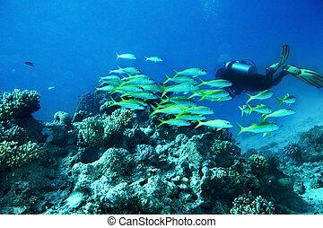 Scuba diver in water. - Scuba diver in blue water. Many...