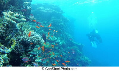 Scuba diver swims on a coral reef. Diving in the Red Sea, Egypt. Tropical reef marine. Beautiful underwater landscape with tropical fish and corals