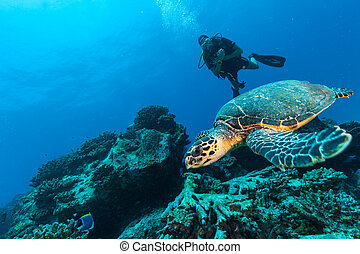Scuba diver with Hawksbill turtle