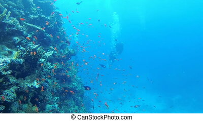 Scuba Diving. The Underwater World of the Red Sea with Colored Fish and a Coral Reef. Tropical reef marine. Beautiful underwater landscape with tropical fish and corals