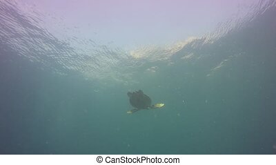 Scuba diving. Underwater exotic tropical seascape. Sea Turtle under sunny ocean surface. Aquatic ecosystem paradise background. Water extreme sport hobby, island vacation. Snorkeling marine wildlife