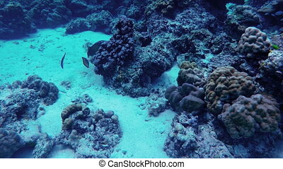 Scuba diving. View of fishes scurry among corals - Scuba...