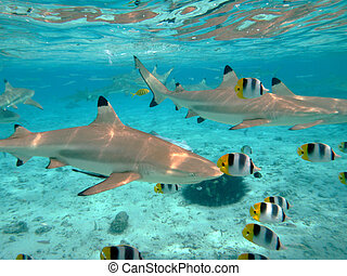 A blacktip reef shark chasing butterfly fish in the shallow, clear water of the lagoon of Bora Bora, an island in the Tahiti archipelago French Polynesia.