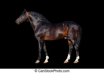 scuro, cavallo baia, -, isolato, su, nero