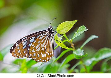 scuro, tiger, vetroso, farfalla